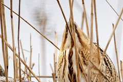 DSC_4739_DxO_pn_crop - Butor étoilé - le regard qui tue (Berzou) Tags: butorétoilé botaurusstellaris eurasianbittern oiseau bird nature naturebynikon nikond7200 tamron150600