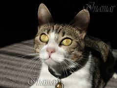 Kiwa (Marina-Inamar) Tags: gato ojos kiwa iluminacion coth5