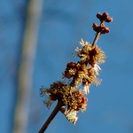 Silver Maple flowers thumbnail