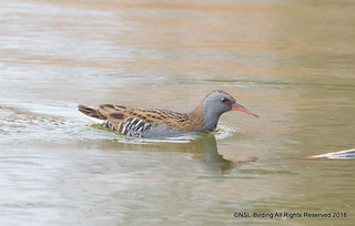 Floating Water Rail