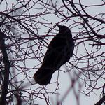 American Crow thumbnail