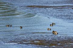 Waterscape  (Where Waters Meet) (wildcatlou) Tags: february winter nisquallynationalwildliferefuge outdoors estuary water lowtide mcallistercreek mud nature ducks mallard americanwigeons