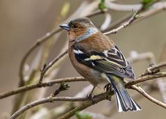 Chaffinch ( Fringilla coelebs ) Male (Dale Ayres) Tags: chaffinch fringilla coelebs male bird nature wildlife