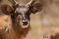 Deer Safari, Anna Zoological Park (rvk82) Tags: 2018 animals annazoologicalpark chennai deer deersafari india march march2018 nikkor200500mm nikon nikond850 rvk rvkphotography raghukumar raghukumarphotography southindia tamilnadu vandalur vandalurzoo wildlife rvkonlinecom rvkphotographycom peerakankaranai in