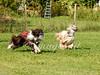 CoursingVillaverla2016w-028 (Jessica Sola - Overlook) Tags: dogs sighthounds afghanhounds greyhounds saluki barzoi italiangreyhounds irishwolfhounds lurecoursing lure race run dograces field greengrass