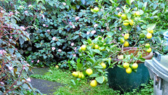 Massey, West Auckland, New Zealand (Sandy Austin) Tags: panasoniclumixdmcfz70 sandyaustin massey westauckland auckland northisland newzealand citrus lemon meyer
