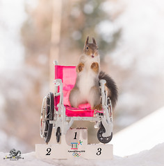 red squirrels on a wheelchair on podium (Geert Weggen) Tags: acrobat animal backlit branchplantpart bright cheerful closeup coldtemperature cute square humor ice looking mammal nature photography pinecone red rodent ski skipole smiling snow sport squirrel sun olympic sweden tree winter wintersport woodmaterial games wintergames podium price win champion medal nut paralympic crank crutch wheelchair firstplace bispgården jämtland geertweggen geert swedish ragunda