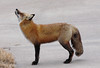 Big Sky (marylee.agnew) Tags: red fox vulpes nature up sky universe thinking wildlife windy outdoor canine