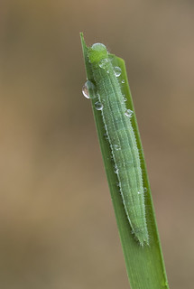 Wall Brown larva (Lasiommata megera).