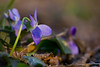 **** (zsolt75) Tags: canon100d sigma 70300 hungary nature viola purple green handheld canon macro makro march forest