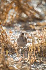 Backlit Snipe (www.andystuthridgenatureimages.co.uk) Tags: snipe wader marsh wetland standing backlit sun sunshine reeds lake wwt uk slimbridge