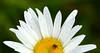 Asomando al mundo (leograttoni) Tags: naturaleza nature margarita gotas drops insecto bug jardín garden airelibre laplata buenosaires