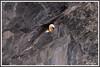 Gypaète paroi 180314-03-RP (paul.vetter) Tags: oiseau ornithologie ornithology faune animal bird gypaètebarbu gypaetusbarbatus bartgeier quebrantahuesos beardedvulture vautour rapace