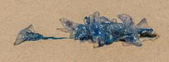 _DSC3628-Pano.jpg (David Hamments) Tags: ghostiesbeach bluebottlejellyfish nsw armadaofbluebottles mooneybeach munmorahconservationarea