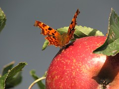 Im Herbst (dorisgoebel) Tags: apfel apple obst fruit herbst autumn schmetterling butterfly tier animal