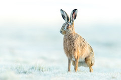 ... Hare I come ... (Grandpops Woodlice) Tags: hare hoarfrost wiltshire wildlife fields