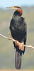 African Darter Wilderness 20 April 2011 DSC_0481 (peterleanranger) Tags: wilderness africa southafrica anhinga rufa anhingarufa anhingidae suliformes aves darter africandarter snakebird