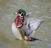 Wood Duck Drake (tresed47) Tags: 2018 201803mar 20180308wissahickonbirds birds canon7d content ducks folder march pennsylvania peterscamera petersphotos philadelphia places season takenby us valleygreen winter wissahickon woodduck ngc