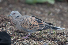 Turtle Dove, Pilling Lane (Fylde Bird Club) Tags: beachroad firstwinter turtledove