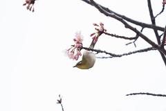_3188178.jpg (plasticskin2001) Tags: mejiro sakura bird flower