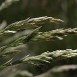 skyline bluegrass, Poa cusickii subsp. pallida thumbnail