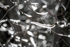 Frozen Branches - Running Springs, California (ChrisGoldNY) Tags: chrisgoldphoto chrisgoldny chrisgoldberg forsale licensing bookcovers bookcover albumcover albumcovers sonyalpha sonya7rii sonyimages sony california socal cali runningsprings branches trees frozen ice icicles winter nature dof depthoffield bokeh exterior challengewinner challengefactory