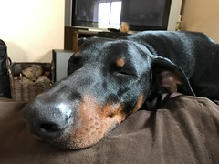 Sleepy Male Doberman Pinscher Saxon (firehouse.ie) Tags: k9 dobie dobe animals animal doberman dobermann dogs dog saxon dobeys dobey dobies dobes
