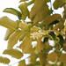 Polyscias racemosa (Munroidendron racemosum)