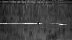 Goose Wake (Mr. Low Notes) Tags: 70d bw blackandwhite monochrome outdoors nature water landscape goose geese canadiangeese