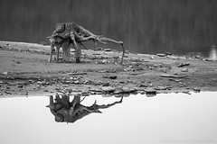 Stump Creature. (Mr. Low Notes) Tags: 70d bw blackandwhite monochrome outdoors nature water landscape stump reflection odd strange creature