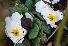 DSC_8881 Primroses (PeaTJay) Tags: nikond750 sigma reading lowerearley berkshire macro micro closeups gardens outdoors nature flora fauna plants flowers primrose primroses