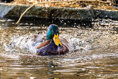 heading this way ... male mallard (londa.farrell) Tags: 2018 canada canon canondslr canoneos7dmarkii dslr dartmouth february novascotia bird daytime duck nature outdoor pond water waterfowl winter