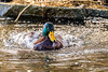 heading this way ... male mallard (londa.farrell) Tags: 2018 canada canon canondslr canoneos7dmarkii dslr dartmouth february novascotia bird daytime duck nature outdoor pond water waterfowl winter