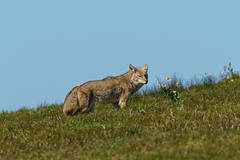 Coyote on a Windy Hillside (lennycarl08) Tags: coyote animalplanet animals wildlife pointreyesnationalseashore northerncalifornia california