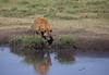 Hyena drinking at the waterhole (ashockenberry) Tags: hyena nature naturephotography africa african wildlife wildlifephotography tanzania canine drinking reflection safari ashleyhockenberryphotography travel eco tourism