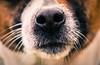 70/365 - Nosey.. (EYeardley) Tags: animal dog canine nose nosey pet closeup nikon sigma nikond3300 365 day70 detail splittone hattie depthoffield dof bokeh jackrussellterrier