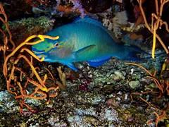 Parrtofish (markb120) Tags: fish animal fauna water sea ocean underwater diving scuba coral reef