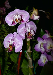 the 2018 pacific orchid exposition: Phalaenopsis orchid hybrid 2-18 (nolehace) Tags: poe pacificorchidexposition 218 2018 pacific orchid exposition winter nolehace sanfrancisco fz1000 flower bloom plant phalaenopsis hybrid