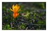Tetralogie Vorfrühling Krokus (günter mengedoth) Tags: samyang 100 mm f 28 ed umc macro krokus pentaxflickraward pentaxk1 ricoh