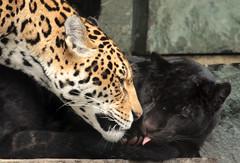 jaguar artis BB2A2463 (j.a.kok) Tags: jaguar pantheraonca kat cat rica neron mammal artis animal zuidamerika southamerica zoogdier dier jaguarcub jaguarwelp zwartejaguar blackjaguar