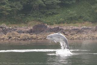 BND Bottlenose dolphin (Tursiops truncatus) 30 Aug-16-25224