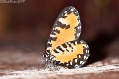 4197-8.jpg (laba laba) Tags: telipna albofasciata telipnaalbofasciata buttefly insect macro closeup rainforest nature africa cameroon cameroun kribi mabenanga