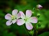 Wild Geranium - M5196132 (j_m_kubler) Tags: wildgeranium springflowers olympusem5 olympus60mmf28macro c1 captureonepro wildflowers spring macro bugs flies