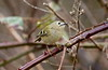 Is that the Sun?? (billywhiz07) Tags: goldcrest bird uk winter spring kinglet golden crowned tiny lea valley local patch