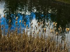 (ScottElliottSmithson) Tags: dtwpuck scottsmithson scottelliottsmithson pacificnorthwest nature landscape iphone snoqualmie washington washingtonstate reflection reflections snoqualmieridge pond woods