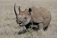 Black Rhino Eating (Susan Roehl) Tags: kenya2015 lewawildlifeconservancy lewadowns kenya eastafrica blackrhino browsing eatleavesandbushes rhinossolitary feedatnight sharphearing keensenseofsmell twohorns poaching criticallyendangered 3100left hornsgrow3inayr requireadequatesecurity innationalandprivatereserves sueroehl photographictours naturalexposures panasonic lumixdmcgh4 100300mmlens handheld takenfromjeep cropped veryfaraway coth5 ngc npc