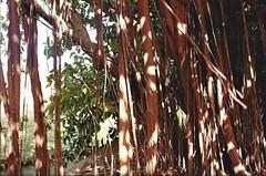 curtains (omnia_mutantur) Tags: figuiermaudit fico ficus arbre arbore tree arbol natura nature natureza naturaleza antille antillas antilles caraibi caribbean caribe martinica martinique lefrançois habitationclément fondationclément caraïbes
