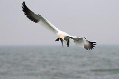 Northern Gannet (douwesvincent) Tags: sea water gannet flying brutal birding bald bird