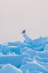 Snowy Owl on Ice (_davidsargent) Tags: owl wildlife nature snow winter michigan animal bird ice blue landscape sunset