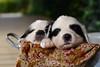 Farm Puppies (Brad Lackey) Tags: puppy karakachan greatpyrenees puppies sheepdog sweetseasonsfarm valleyhead alabama metalbucket blanket vintage porch ivy strobist nikonsb700 yongnuoyn560ii nikon35mmf18 d7200